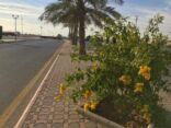 في منظرٍ بديع زهور التيكوما تزين طريق الملك فهد بالأفلاج..